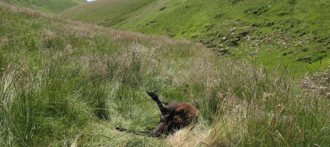 Умрелите животни в безлесната зона са достъпен източник на храна за лешояди и други мършояди, като скални и царски орли и гарвани