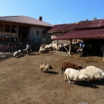 FWFF sheep farm in Kotel Mountain