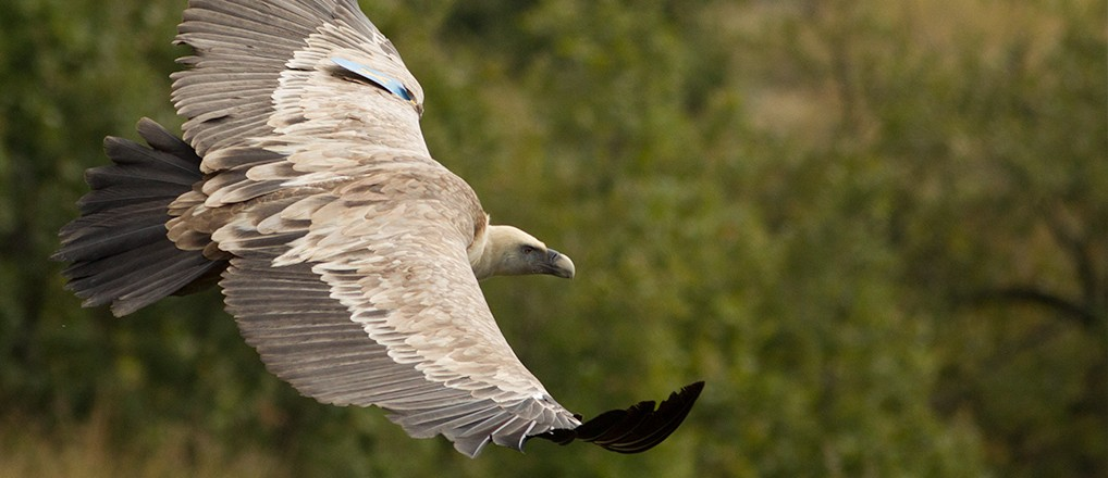 Griffon Vulture reintroduction in Kresna Gorge