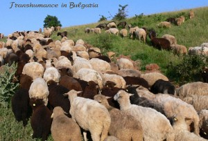Transhumance_in_Bulgaria
