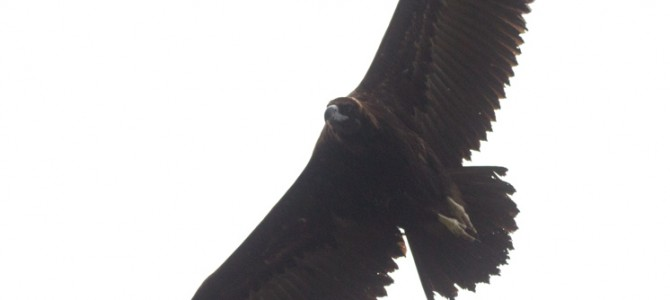 Black and Egyptian Vulture on the vulture supplementary feeding site in Kotlenska Stara planina
