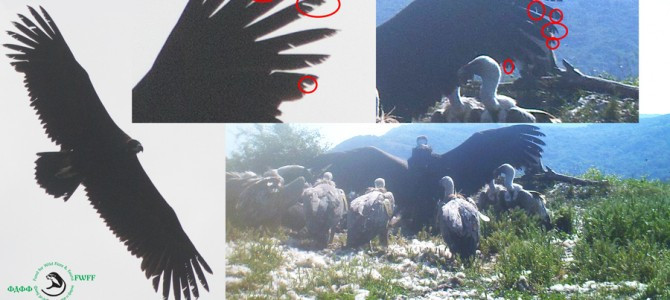 PROVEN!!!  The Balck Vulture in Kotel Mountain is the same specimen from Kresna Gorge observed in the beginning of May 2015.