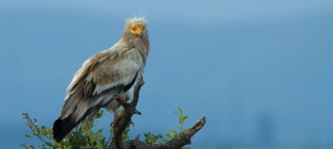 More Egyptian Vultures in Kresna Gorge