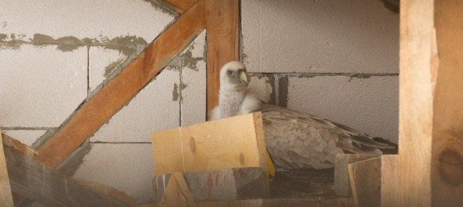 A pair of Griffon vultures laid first egg at Wildlife Center Rakitna