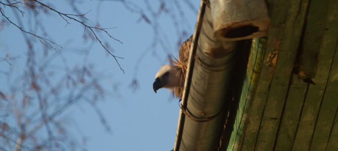 Griffon vulture entertains the villagers of Cherniche and the travelers on E79 road