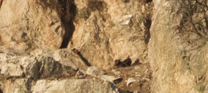 The new breeding season of the Griffon vultures in Balkan Mountain and Kresna Gorge has started