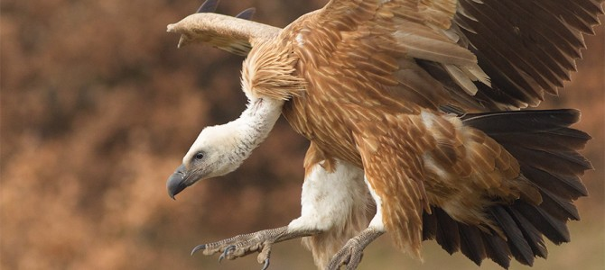 Griffon vulture has been recovered as a nesting species at Kresna gorge