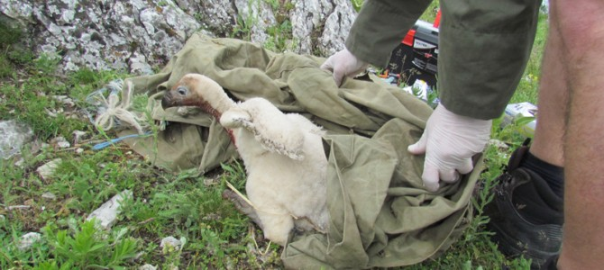 Six Griffon vulture chicks hatched in Kotel Mountain