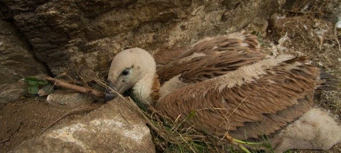 First ever tagged Griffon vulture chick in Kresna Gorge