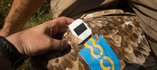Въведохме прототипен предавател за следене на лешояди