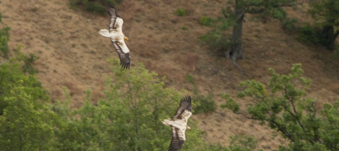 Two adult Egyptian Vultures in Kresna Gorge