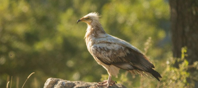 The Egyptian Vulture tends to reoccupy the sites where the reintroduction of Griffon Vulture takes place in the Kotel Mountain, Kresna Gorge and Vrachanski Balkan in Bulgaria, although it is still declining in Balkans.