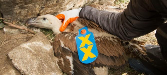 Белоглавият лешояд отново е част от фауната на Стара планина и Пирин, след 60-годишно отсъствие