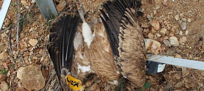 Жертва на електропреносна мрежа в Котел е успешно размножаващ се женски лешояд