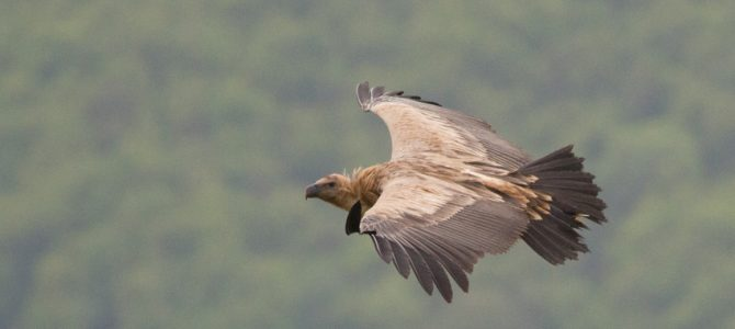 Current information about reintroduced Griffon vulture colonies in Bulgaria