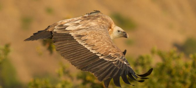 Hi-tech vultures will spy on poisons in nature