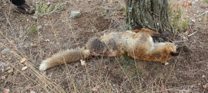 Once again poison is killing wild and domestic animals near Blagoevgrad