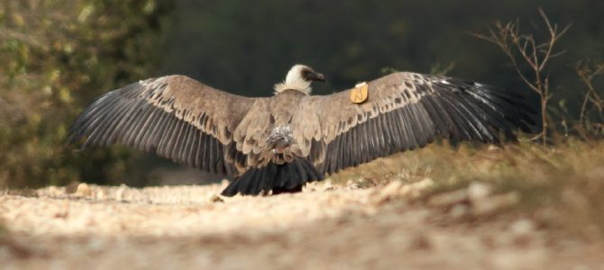 "Early alarm system of the wind park ""St Nikola"" saved Griffon vulture K4N"