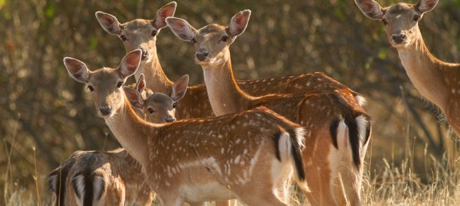 Fallow Deer support Anti-Poison Campaign
