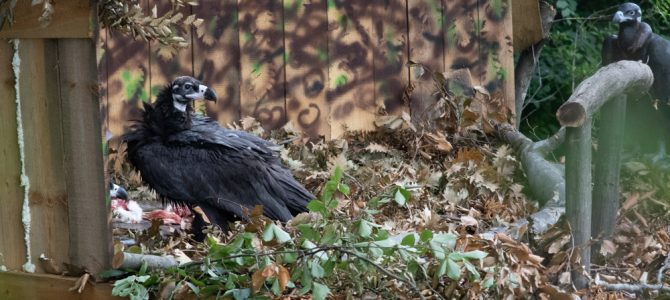 The vultures Boyan and Ostrava were accomodated in their new home in the wild