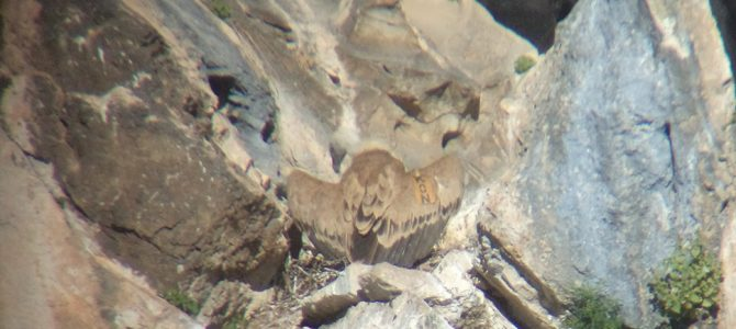 Successful breeding season for Griffon vultures in Vrachanski Balkan